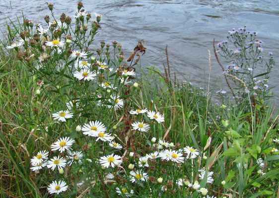 Astřička malokvětá (Symphyotrichum parviflorum)