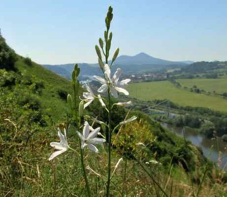 Bělozářka liliovitá (Anthericum liliago) - C3, §3