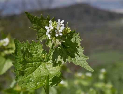 Česnáček lékařský (Alliaria petiolata)