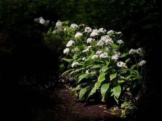 Česnek medvědí (Allium ursinum) - C4a