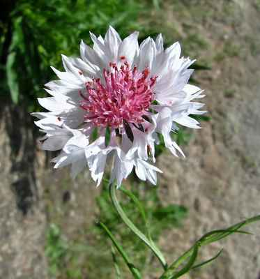 Chrpa modrá, albín (Centaurea cyanus) - C4