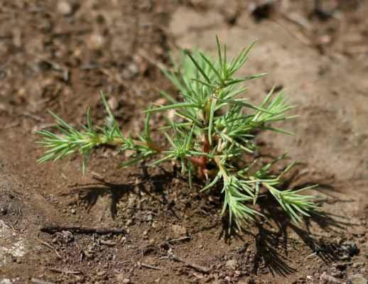 Chruplavník větší (Polycnemum majus) - C1t