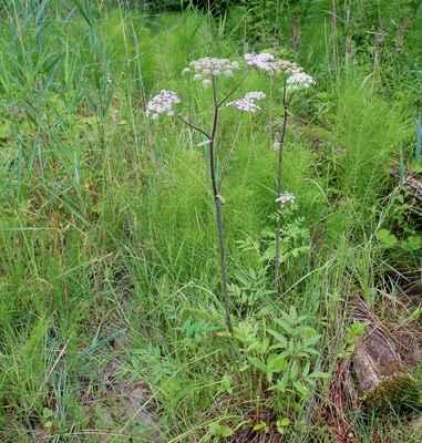Děhel lesní (Angelica sylvestris)