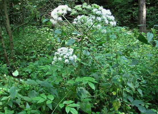 Děhel lesní horský (Angelica sylvestris subsp. bernardiae) - C4b