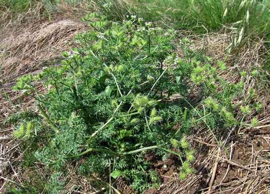 Dejvorec velkoplodý (Caucalis platycarpos) - C2b