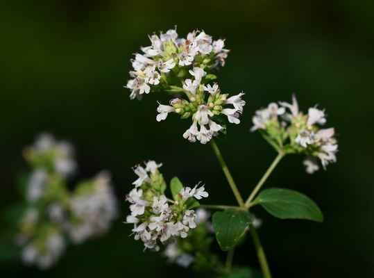Dobromysl obecná klasnatá (Origanum vulgare subsp. prismaticum) - C4b