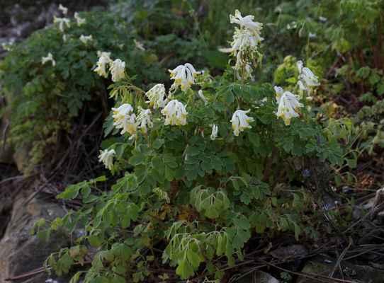 Dymnivka bílá (Corydalis alba, nově Pseudofumaria alba)