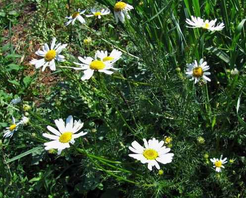 Heřmánkovec přímořský (Tripleurospermum maritimum)