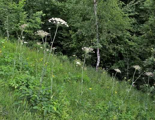 Hladýš širolistý (Laserpitium latifolium) - C3