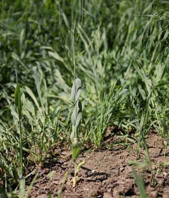 Hořinka východní (Conringia orientalis) - C1t