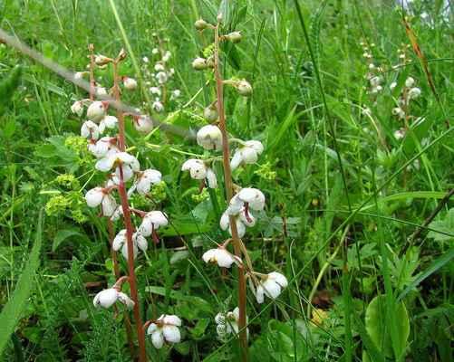 Hruštička okrouhlolistá (Pyrola rotundifolia) - C2t