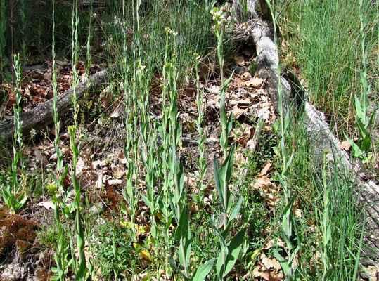 Huseník lysý (Arabis glabra)