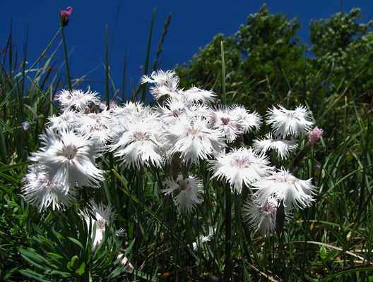 Hvozdík Lumnitzerův (Dianthus lumnitzeri) - C1r, §2