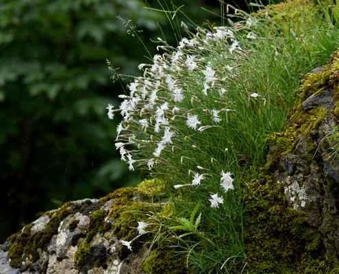 Hvozdík časný pravý (Dianthus praecox subsp. praecox), u nás neroste (SR)