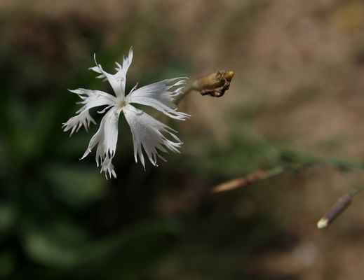 Hvozdík pozdní (Dianthus serotinus) - u nás neroste (SR)