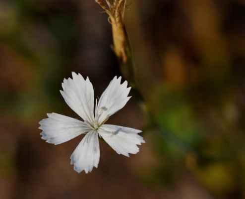 Hvozdík kropenatý, albín (Dianthus deltoides)
