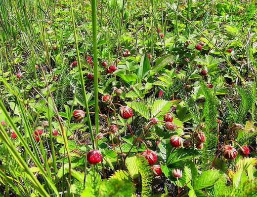 Jahodník trávnice (Fragaria viridis) , plody