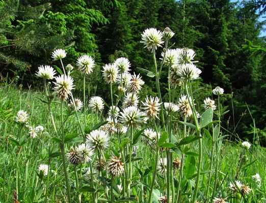 Jetel horský (Trifolium montanum)