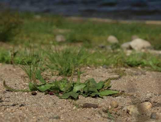Jitrocel chudokvětý (Plantago uliginosa)