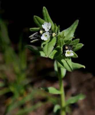 Kamejka rolní (Buglossoides arvensis)
