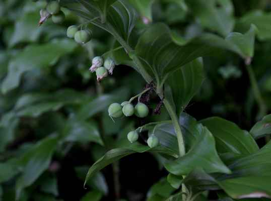 Kokořík širolistý (Polygonatum latifolium) , plody