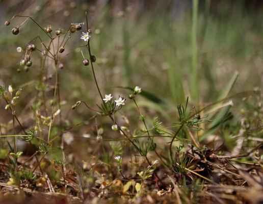 Kolenec Morisonův (Spergula morisonii) - C3