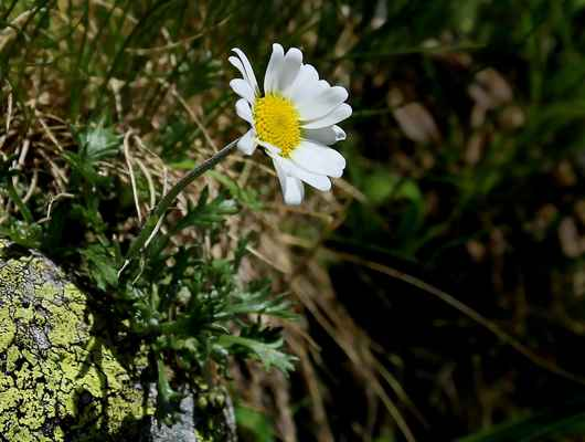 Kopretinka alpská (Leucanthemopsis alpina) - u nás neroste (SR)