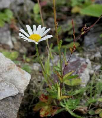 Kopretinka alpská tatranská (Leucanthemopsis alpina subsp. tatrae) - u nás neroste, endemit (SR)