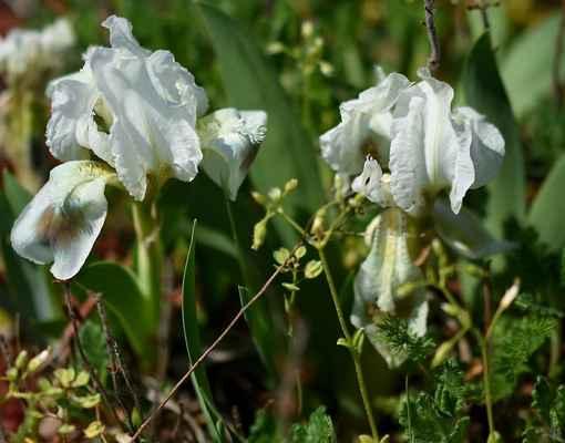 Kosatec nízký, bílá varieta (Iris pumila) - C2r, §2