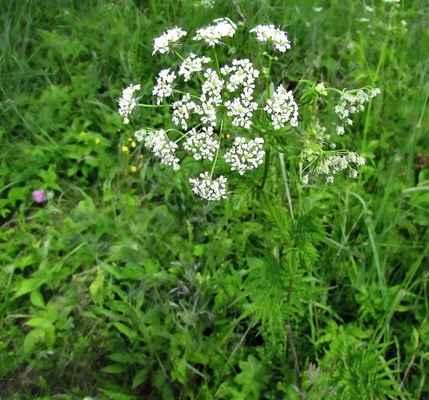 Krabilice zlatoplodá (Chaerophyllum aureum)