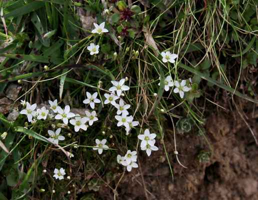 Kurička karpatská (Minuartia pauciflora) - u nás neroste, karpatský endemit (SR)