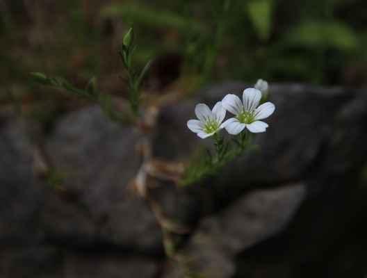 Kuřička vápencová (Minuartia langii) - u nás neroste (SR)