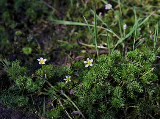 Lakušník okrouhlý (Batrachium circinatum) - C3