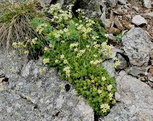 Lomikámen pižmový (Saxifraga moschata) - u nás A3 (SR)