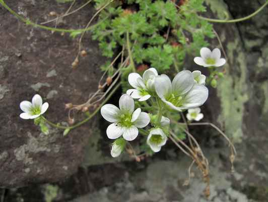 Lomikámen trsnatý vlnatý (Saxifraga rosacea subsp. steinmannii) - C1r