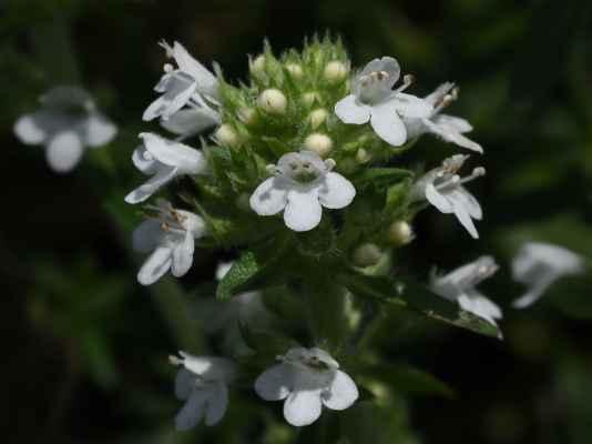 Mateřídouška panonská, albínek (Thymus pannonicus) - C4a