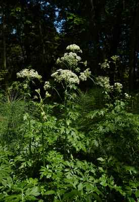 Mázdřinec rakouský (Pleurospermum austriacum) - C2b