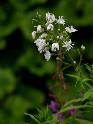 Mléčivec alpský, albín (Cicerbita alpina) - C4a