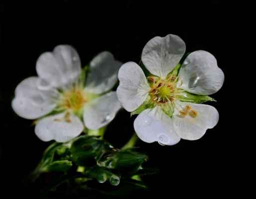 Mochna bílá (Potentilla alba) - C3