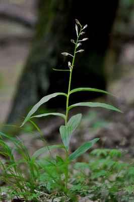Okrotice dlouholistá (Cephalanthera longifolia) - C3, §3