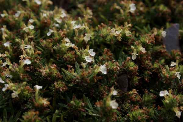 Ožanka horská (Teucrium montanum) - C2t, §2
