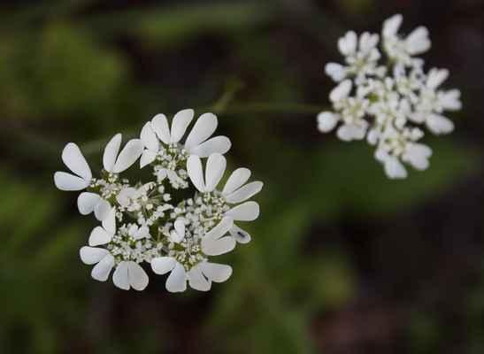 Paprska velkokvětá (Orlaya grandiflora) - C2r