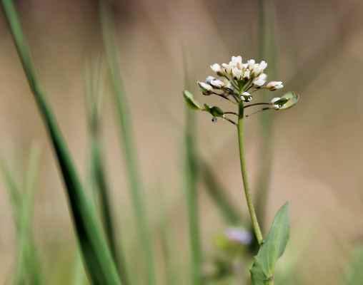 Penízek prorostlý (Microthlaspi perfoliatum)