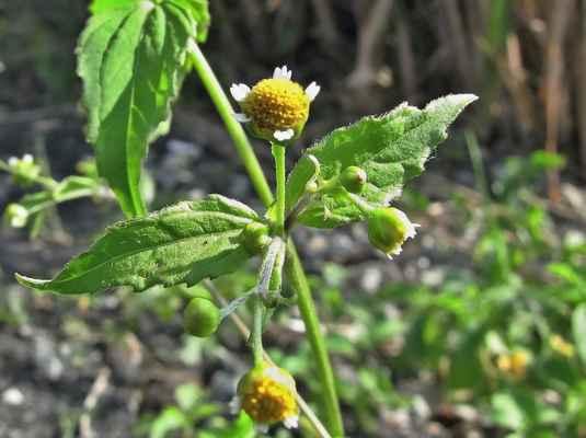 Pěťour malokvětý (Galinsoga parviflora)