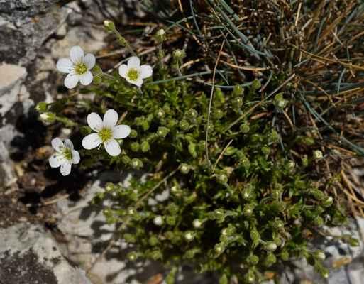 Písečnice velkokvětá (Arenaria grandiflora) - C1r, §1