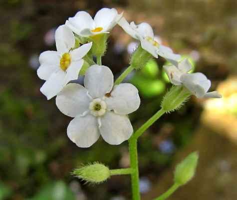 Pomněnka lesní, albín (Myosotis sylvatica)