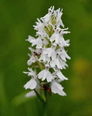 Prstnatec plamatý (Dactylorhiza maculata) - C1b, §1