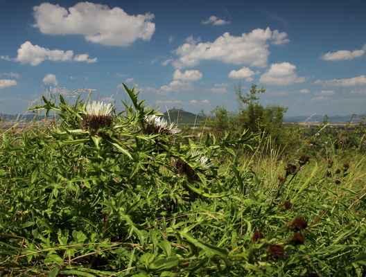Pupava bezlodyžná prodloužená (Carlina acaulis subsp. caulescens) - C1r