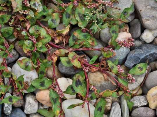 Rdesno blešník (Persicaria lapathifolia)