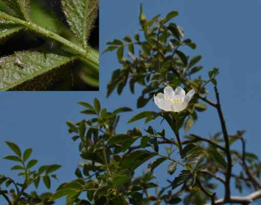 Růže oválnolistá (Rosa elliptica)